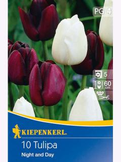 Blühende Partner Einfache Späte Tulpen Night and Day