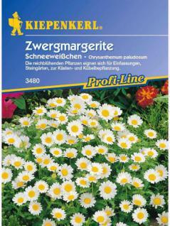Chrysanthemum paludosum Zwergmargerite Schneeweisschen weiss