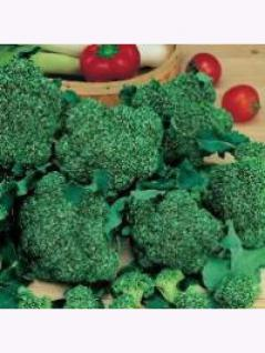 Keimsprossen Bio Brokkoli Großpackung 1 kg