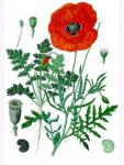 Papaver Rhoeas Klatschmohn Wildform 10g