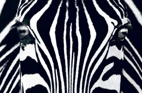 XXL Poster Tiere Zebra