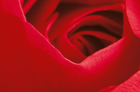 XXL Poster Rose Rot, Nahaufnahme