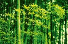 XXL Poster Bambus, Grün