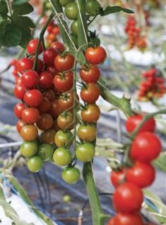 GREEN TOWER GT Tomaten-Reifehaube Tomatenreife-haub.0, 65x10m