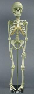 Skelett 5 Jahre