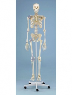 Skelett mit Bandapparaten - Vorschau 1