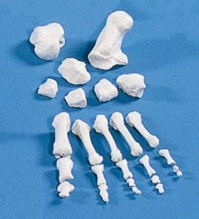 Fußknochen, unmontiert