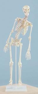 Skelett mit beweglicher Wirbelsäule