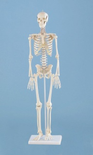 Skelett klein