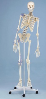 Skelett mit beweglicher Wirbelsäule und Bandapparaten