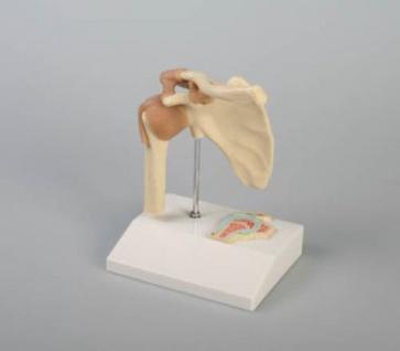 Schultergelenk - Vorschau