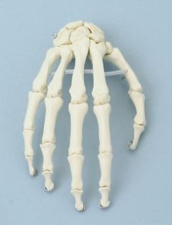 Handskelett - Vorschau