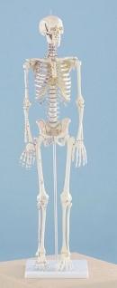 Skelett mit Muskelbemalung