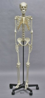 Skelett Heranwachsener