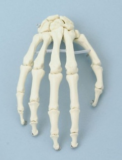 Handskelett