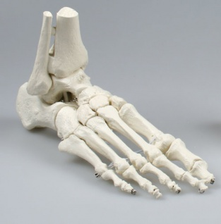 Fußskelett