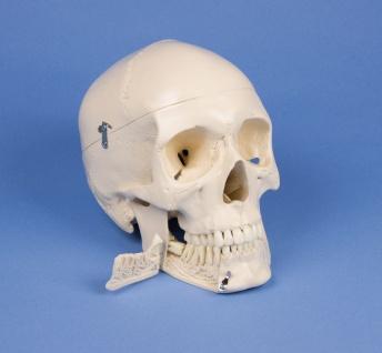 Dental Schädel