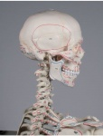 Skelett mit Muskelursprüngen
