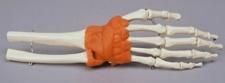 Handgelenk-Modell