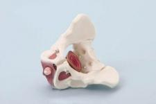 Beckenmodell mit Beckenbodenmuskulatur