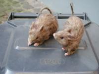 Ratte Fell ca. 15 cm Fellratte sehr echt wirkend Ratte deko Dekoratte