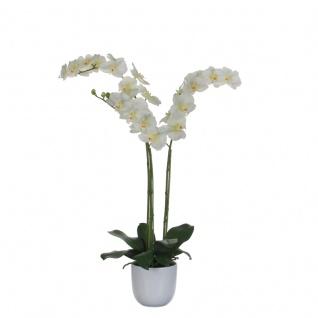 Nachtfalter-Orchidee 100cm