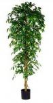 Ficus Benjamina 210 cm, exklusive Blumentopf