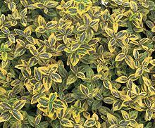 Gold-Grüner-Spindelstrauch-Paket, 25 Stück