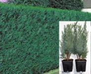 Grünblaue-Scheinzypresse-Paket 20 Stück, Größe 20