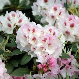 INKARHO - Rhododendron Apollonia 50-60cm - Rhododendron williamsianum