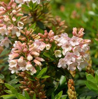 Kleinblütiger Rhododendron Bloombux Magenta® 15-20cm - Rhododendron micranthum