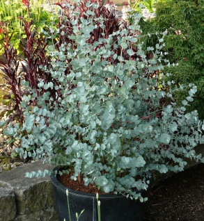 Eucalyptus parvula winterharter Eukalyptus 20 Samen parvifolia