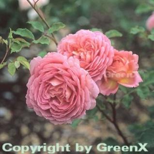 Englische Rose Jubilee Clebration 30-60cm