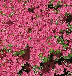 Japanische Azalee Kermesina 25-30cm - Rhododendron obtusum - Zwerg Alpenrose