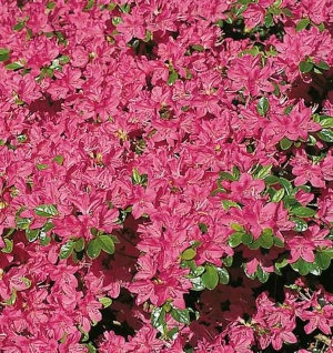 Japanische Azalee Kermesina 40-50cm - Rhododendron obtusum - Zwerg Alpenrose
