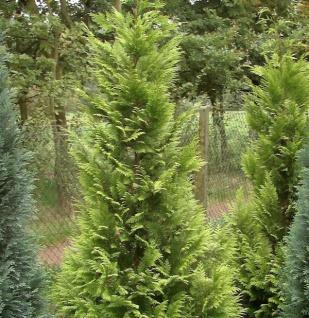 Garten Zypresse Sunny Kiss Green 100-125cm - Chamaecyparis lawsoniana