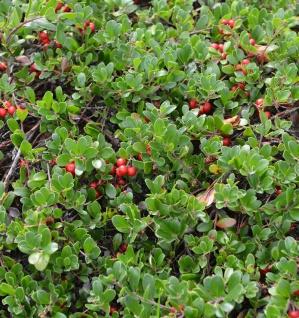 Europäische Bärentraube 20-25cm - Arctostaphylos uva-ursi