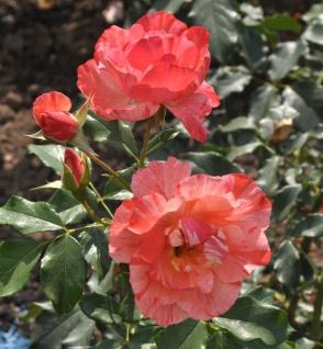 Delbard Rose Grimaldi 30-60cm
