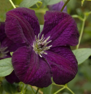 Robuste Waldrebe Royal Velours 60-80cm - Clematis viticella
