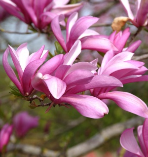 Niedrige Magnolie Betty 100-125cm - Magnolia liliiflora