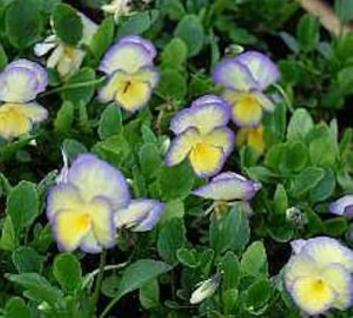 Hornveilchen Etain - Viola cornuta