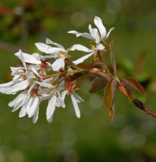 Felsenbirne Snowflakes 100-125cm - Amelanchier laevis