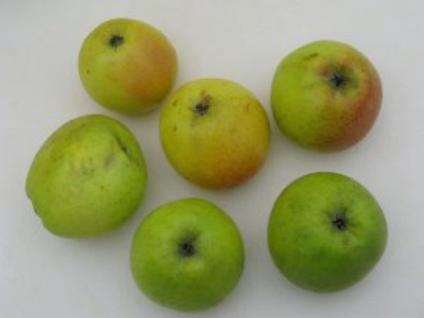 Apfelbaum Zuccalmaglio Renette 60-80cm - fest und edel