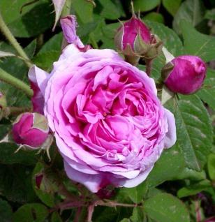 Historische Rose Comte de Chambord 30-60cm