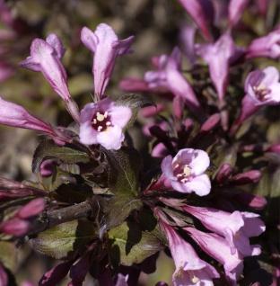 Purpurweigelie 80-100cm - Weigela florida