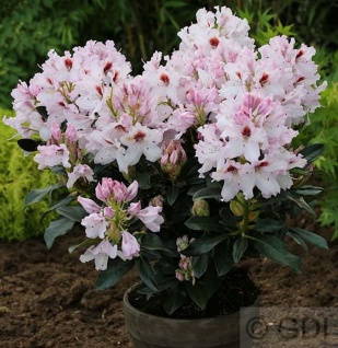 INKARHO - Großblumige Rhododendron Graffito® 30-40cm - Alpenrose