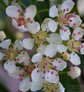 Hochstamm Apfelbeere Hugin 60-80cm - Aronia melanocarpa