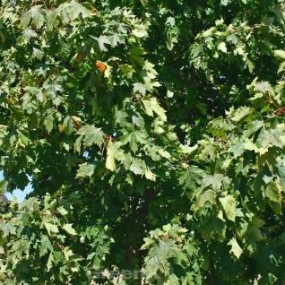 Zwerg Spitz-Ahorn Nowusch 30-40cm - Acer platanoides