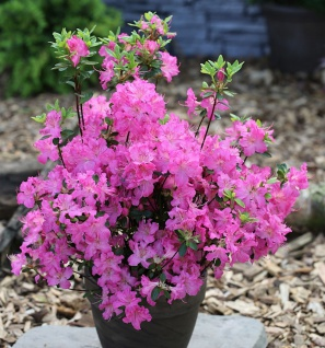 Japanische Azalee Petticoat® 50-60cm - Rhododendron obtusum - Zwerg Alpenrose