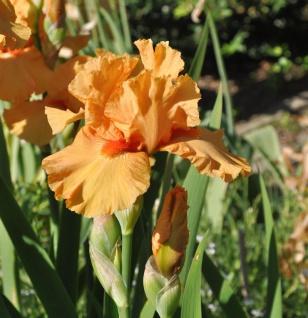 Mittelhohe Schwertlilie Apricot Silk - Iris barbata